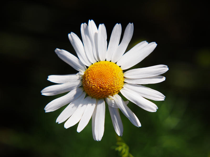母菊属chamomilla同步符母菊属recutita & x28; chamomile& x29; 库存照片