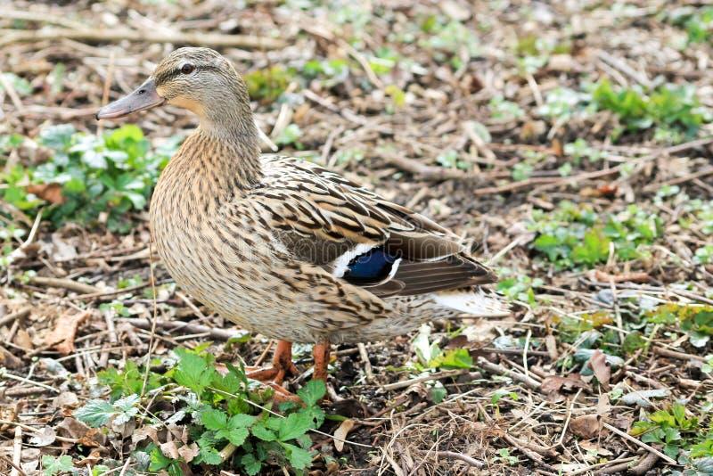 母蹒跚地走通过下木的鸭子或者母鸡 免版税图库摄影