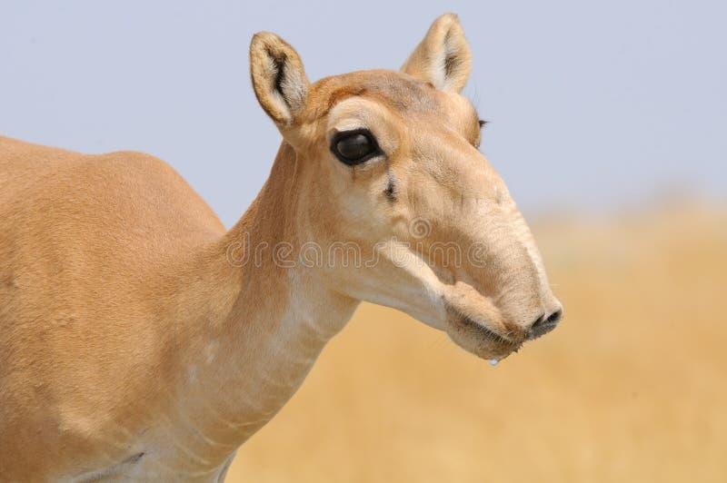 母野生Saiga羚羊画象在卡尔梅克共和国干草原 库存照片