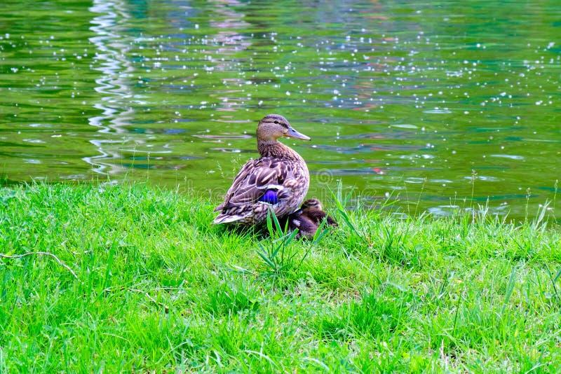 母野鸭鸭子用睡觉在它的翼下的两只鸭子,在一个池塘的边缘,绿色春天草的 库存图片