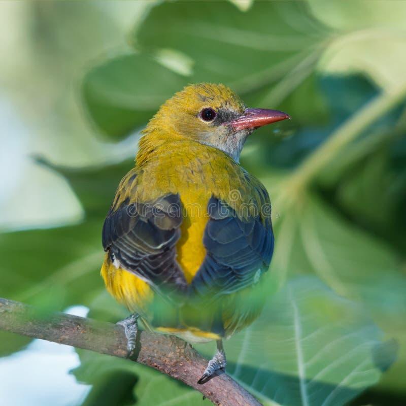 Download 母金黄金莺类从后面 库存照片. 图片 包括有 女性, 通配, 金莺类, 注视的, 本质, 绿色, 金黄, 野生生物 - 72362120