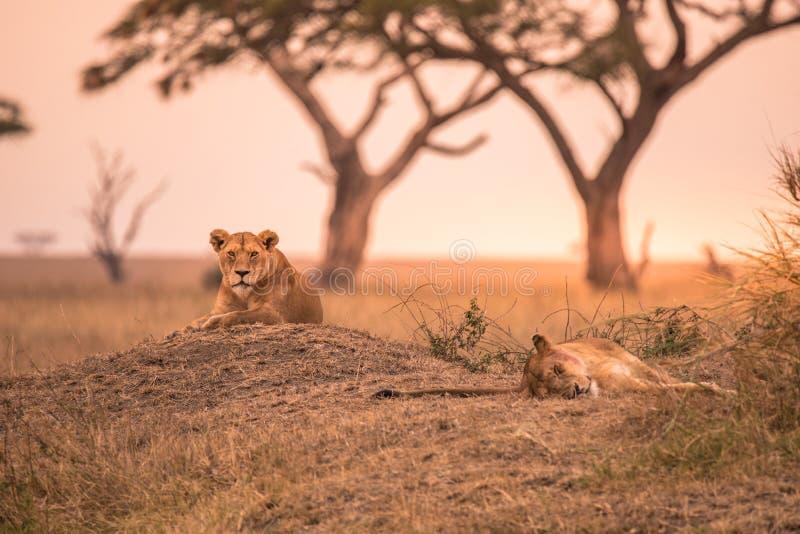 母非洲狮子(豹属利奥)在坦桑尼亚的大草原的小山顶部在日落-塞伦盖蒂国家公园,徒步旅行队在Tanzani 免版税库存照片