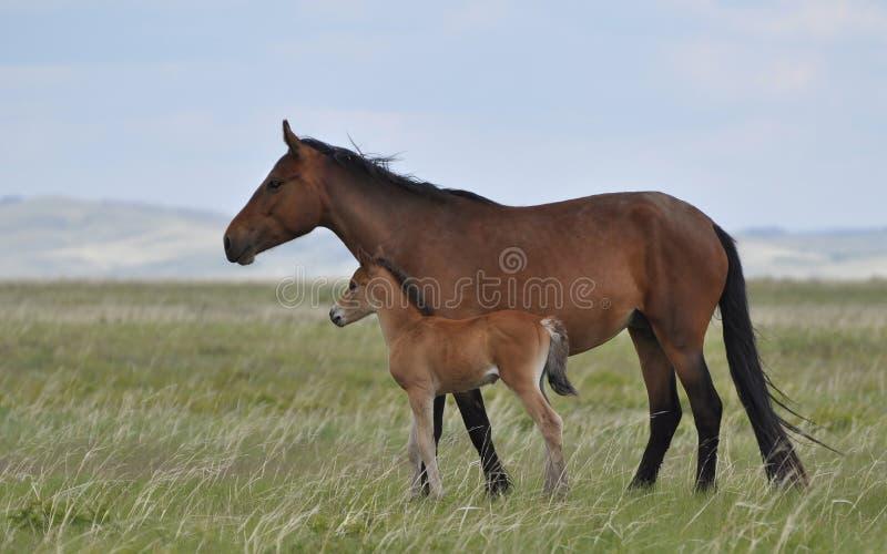 母马和驹在牧场地 免版税图库摄影