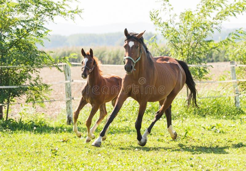 母马和驹 图库摄影