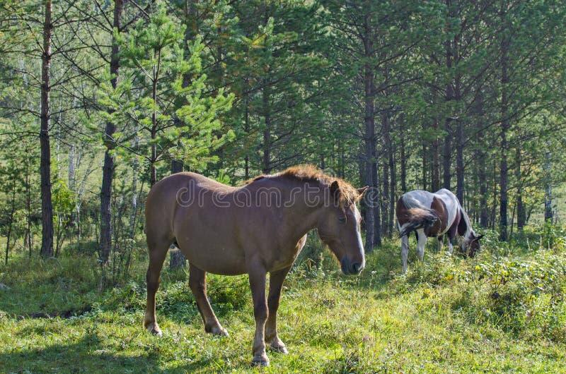 母马棕色孕妇在木头吃草 免版税库存照片
