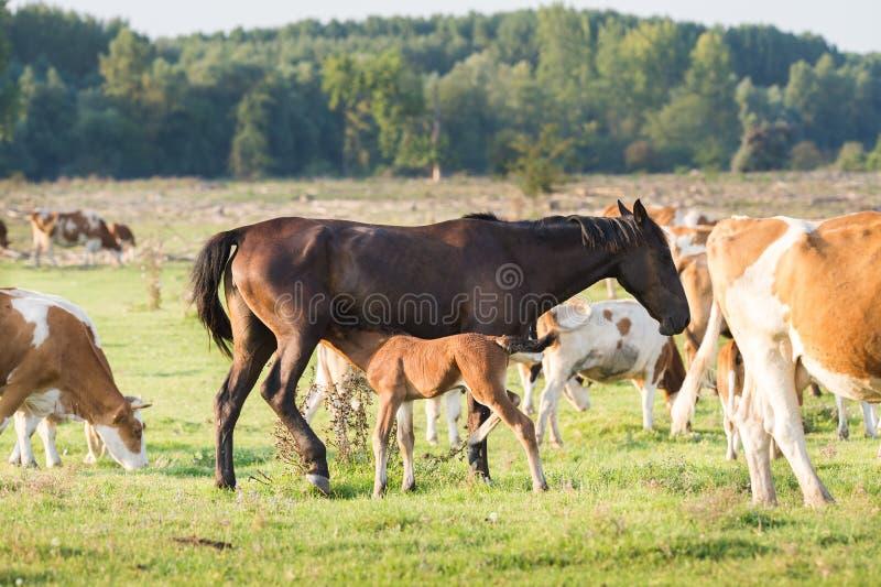 母马沿着它的与母牛的驹站立 库存照片
