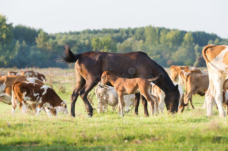 母马沿着它的与母牛的驹站立 免版税库存照片