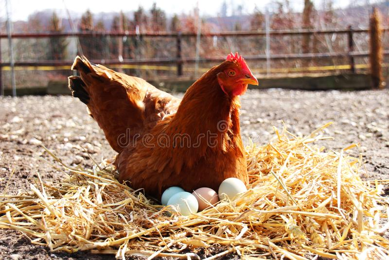 母鸡下来坐她的鸡蛋外面 免版税库存照片