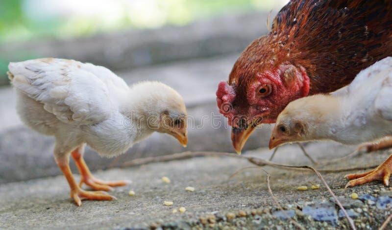 母鸡和小鸡 库存照片