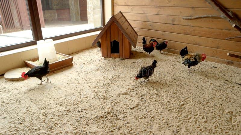母鸡和雄鸡在小屋在现代农场 免版税库存照片