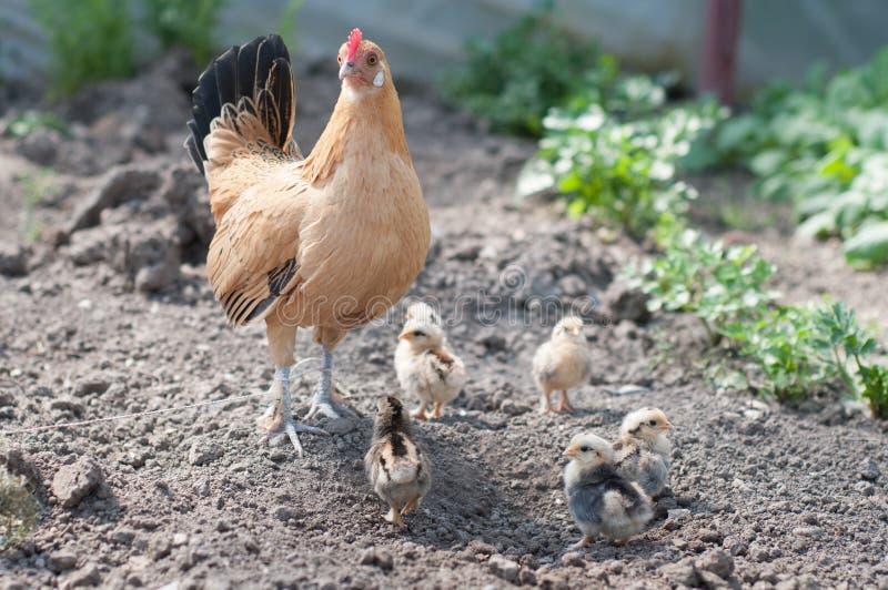 母鸡和鸡2 免版税库存图片