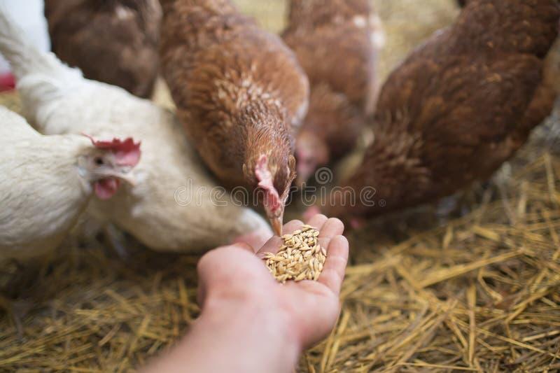母鸡啄 免版税库存图片