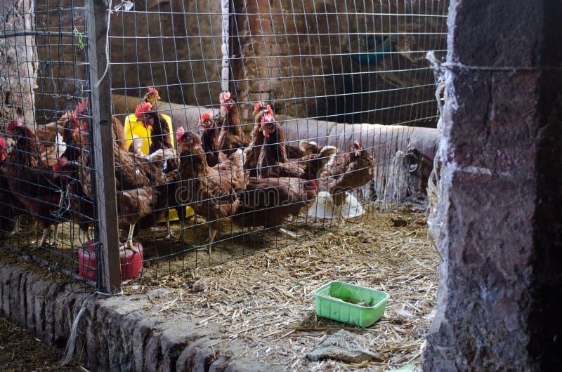 母鸡在鸡舍里 库存图片