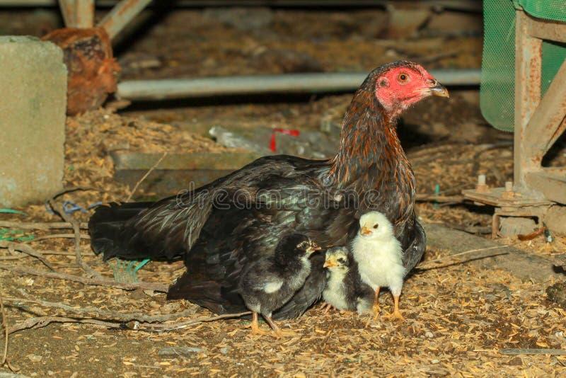 母鸡好斗的公鸡扶养婴孩小鸡 库存图片