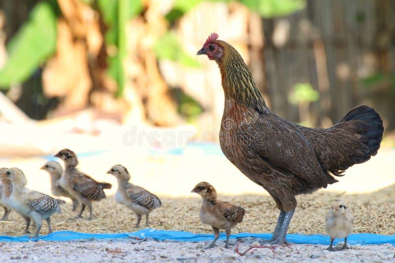 母鸡小鸡聚集在地面上的身分用米,小鸡,鸡小鸡群  免版税图库摄影
