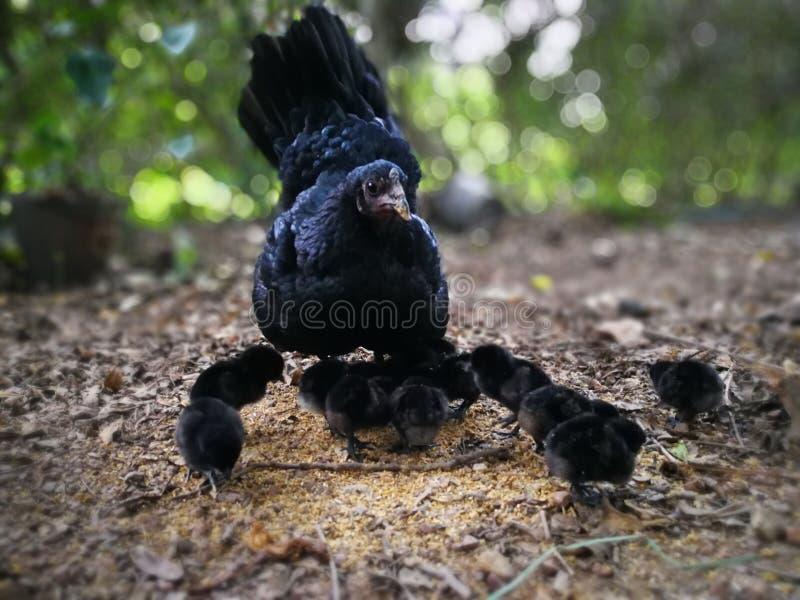 母鸡带来婴孩 免版税库存照片