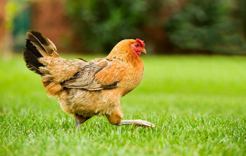 母鸡移动 免版税库存照片