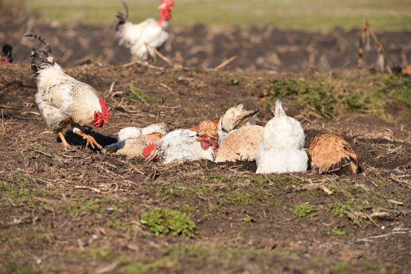 母鸡洗尘土浴的和雄鸡走了 免版税库存图片