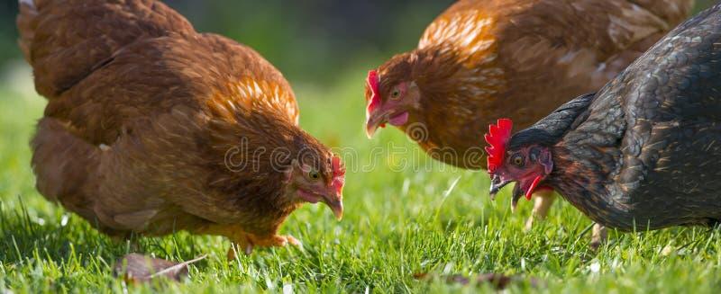 母鸡 库存图片