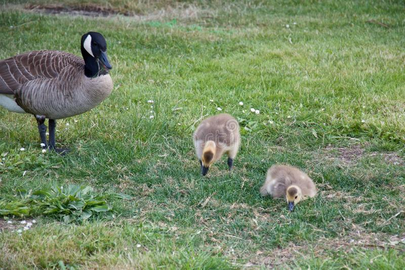 母鹅用在绿草的两只幼鹅在公园 免版税库存图片