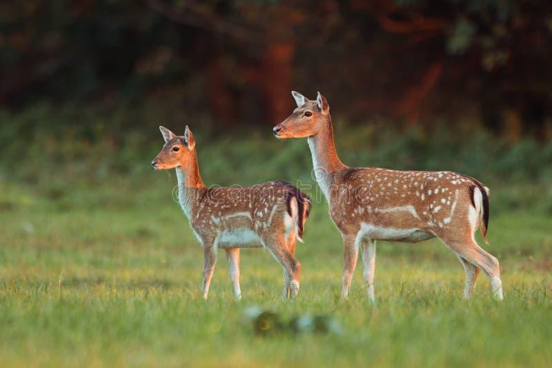 母鹿和小鹿小鹿,黄鹿黄鹿,在前阳光的秋天颜色 免版税库存图片