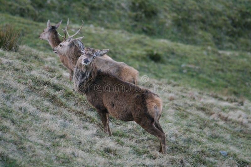 母鹿和雄鹿 免版税库存图片