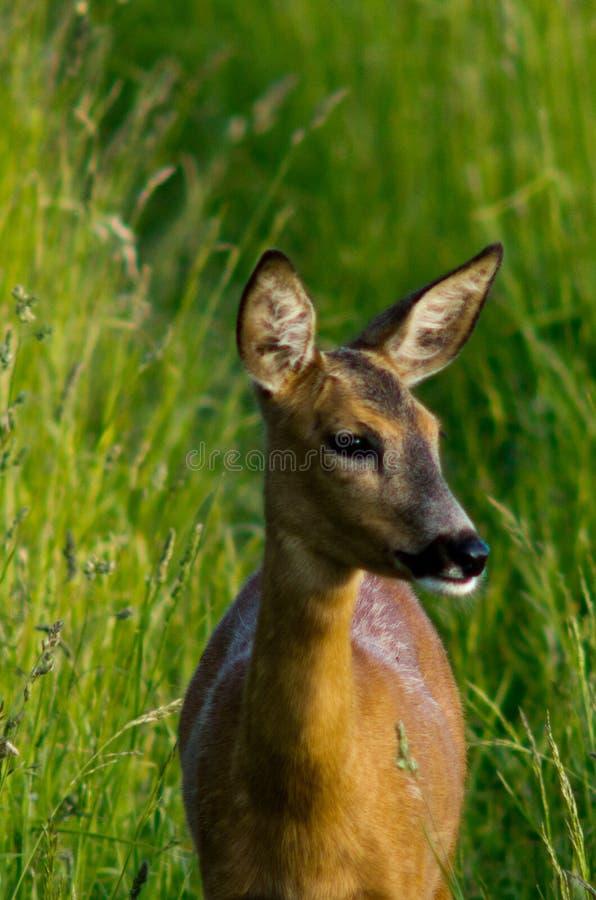 母鹿年轻人 图库摄影