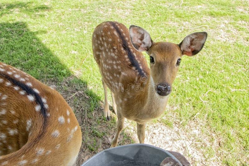 母鹿或母鹿在动物园,看好奇照相机 免版税库存图片