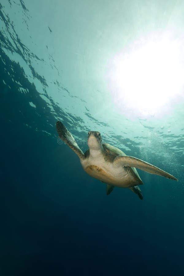 母绿海龟在红海 库存图片