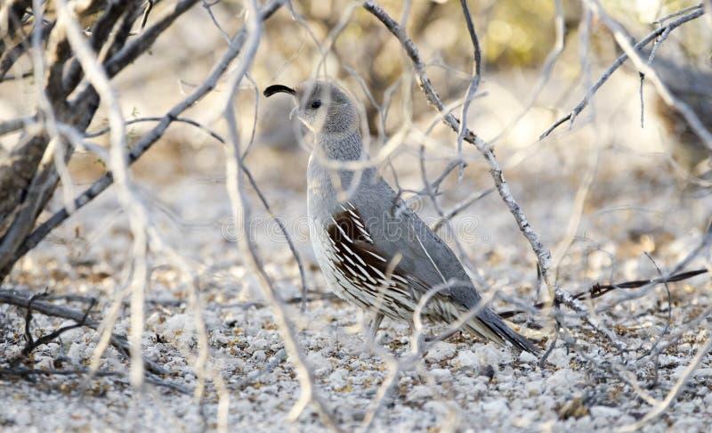 母Gambel ` s鹌鹑鸟,图森亚利桑那地面蛇沙漠 库存照片
