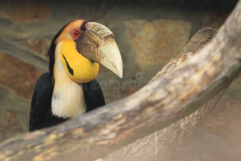 母papuan犀鸟 免版税库存照片