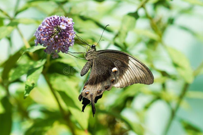 每日热带蝴蝶Papilio Palinuro拉特 Papilio海螯虾,没有在大卫花淘汰盘或者可变的拉特离开 Bu 库存图片