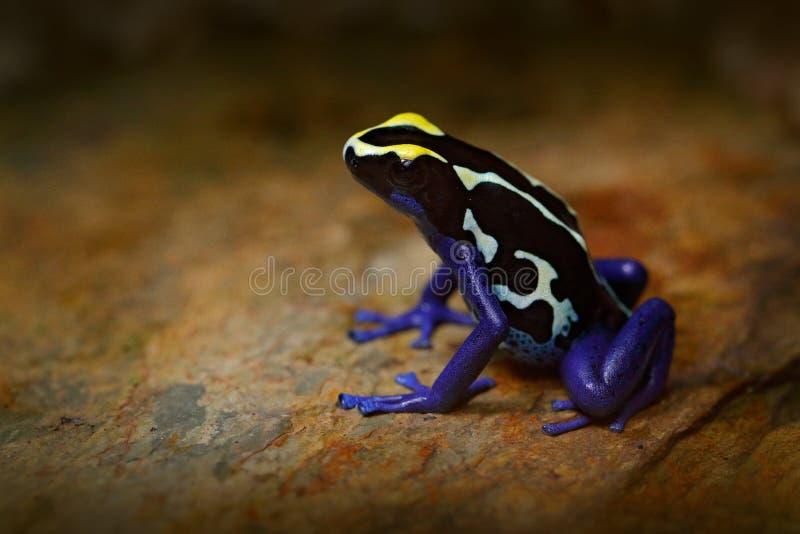 毒害青蛙,在热带自然的蓝色青蛙 蓝色和黄色亚马逊洗染的毒物青蛙, Dendrobates tinctorius,野生生物栖所 通配 库存照片
