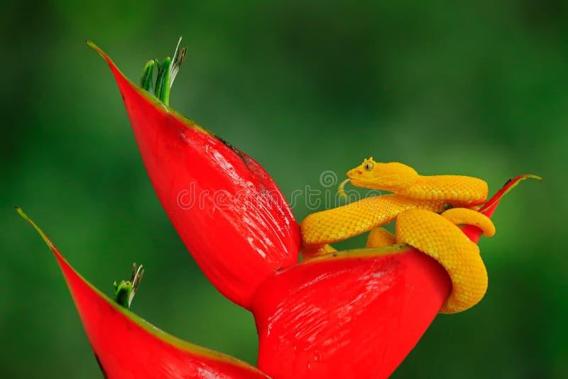 毒物危险从哥斯达黎加的蛇蝎蛇 黄色睫毛棕榈Pitviper, Bothriechis schlegeli,在红色野花 野生生物场面 库存照片