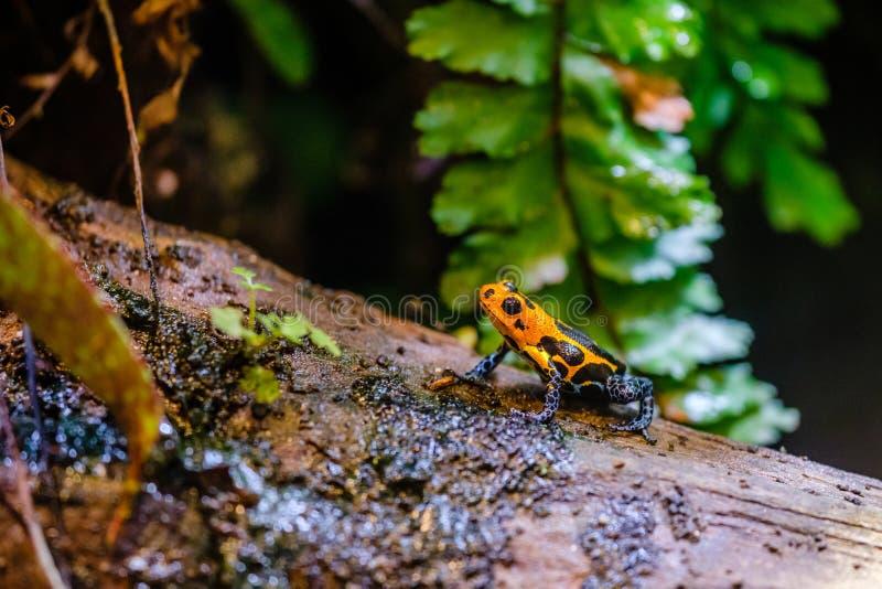 毒物箭青蛙,从秘鲁的亚马逊雨林的橙色蓝色毒动物 免版税库存图片