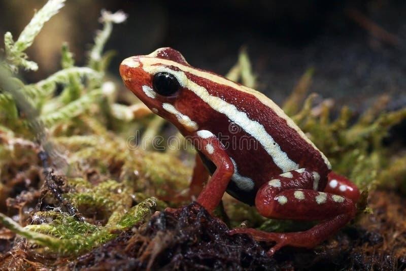 毒物红色青蛙 图库摄影