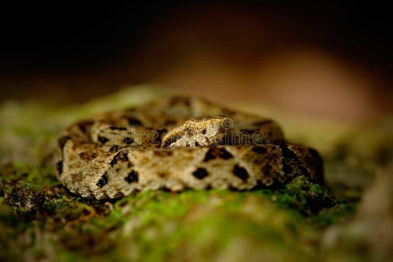 毒物蛇在自然栖所 共同的Lancehead,具窍蝮蛇属atrox,在热带森林毒物动物在黑暗的密林 Deta 免版税库存图片