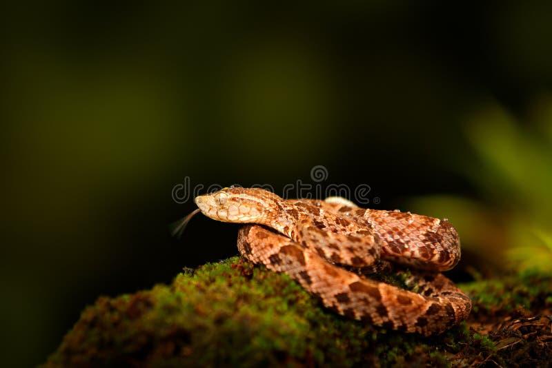 毒物蛇Fer de长矛在自然栖所 共同的Lancehead,具窍蝮蛇属atrox,在热带森林毒物动物在黑暗的密林 免版税图库摄影