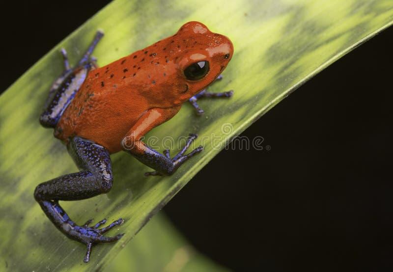 毒物青蛙哥斯达黎加 库存照片
