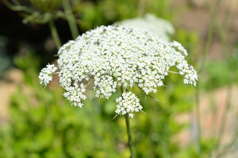 毒草名头状花序,毒芹属Maculatum,自然,宏指令特写镜头  库存照片