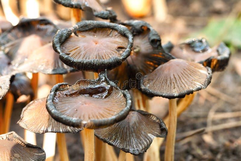 毒蘑菇粉红孢子伞菌类cetratum 免版税图库摄影