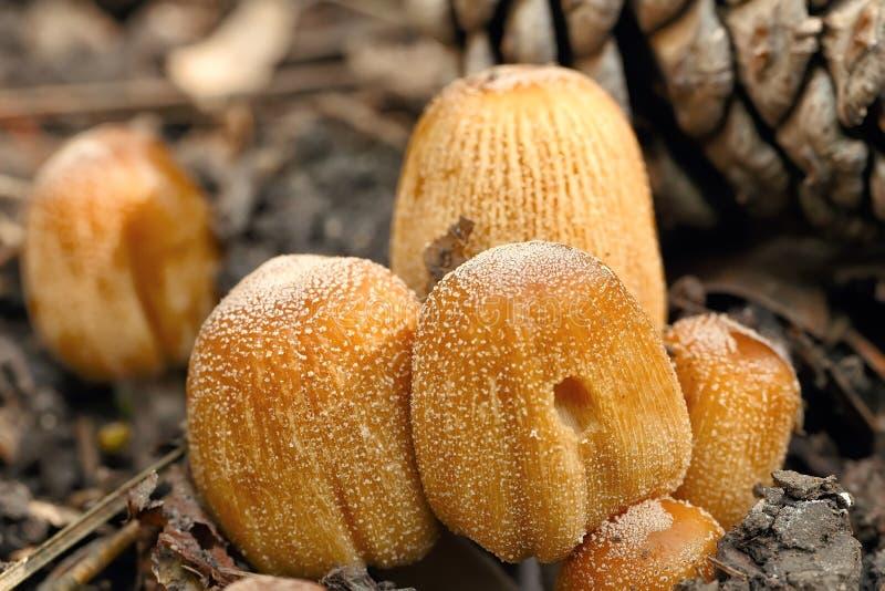 毒蘑菇粉红孢子伞菌类cetratum 库存照片