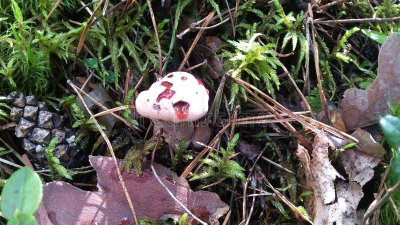 毒蘑菇Hydnellum peckii 库存图片