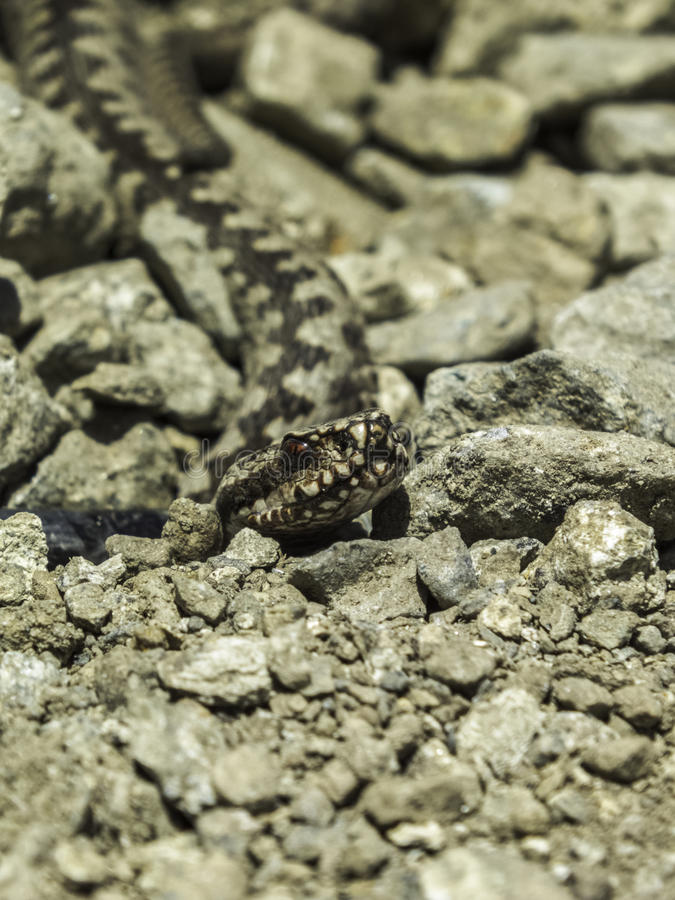 毒蛇蝎蛇 库存照片