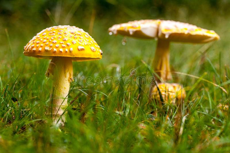 毒黄色蘑菇本质上 库存图片