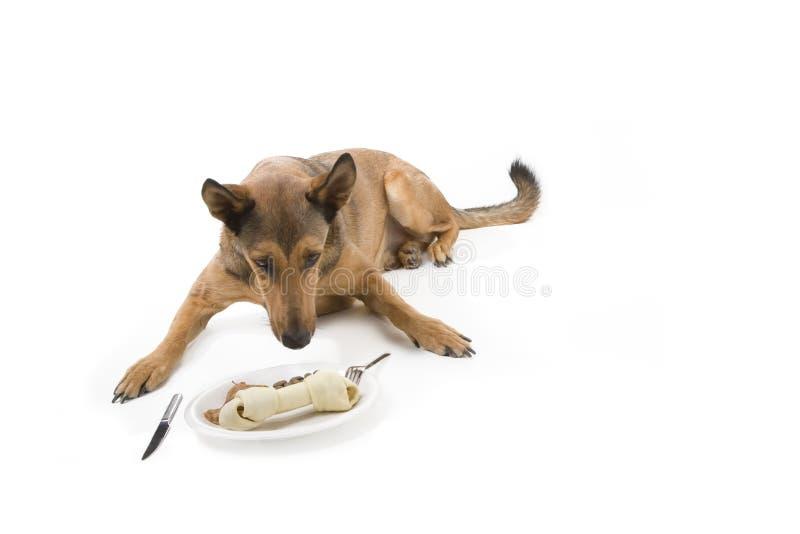 比利时吃饭的客人狗malinois 免版税图库摄影