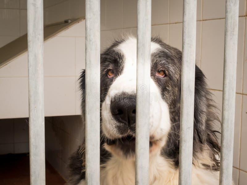比利牛斯山脉的大型猛犬狗II 免版税库存图片