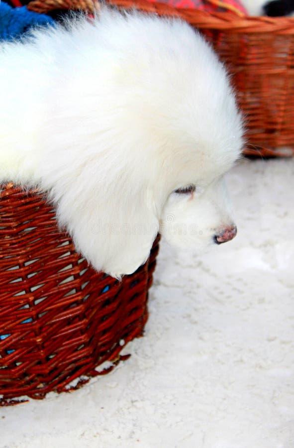 比利牛斯山脉的山狗小的小狗篮子的大比利牛斯 库存照片