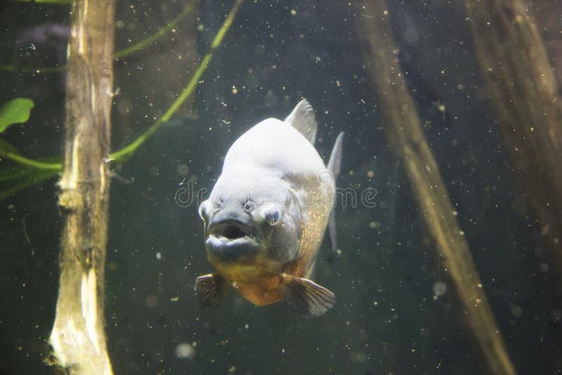 比拉鱼在蒙特利尔Biodome在蒙特利尔魁北克加拿大 免版税图库摄影