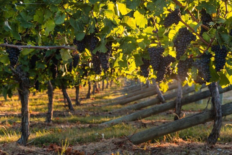 黑比诺葡萄酒葡萄在葡萄园里 库存图片